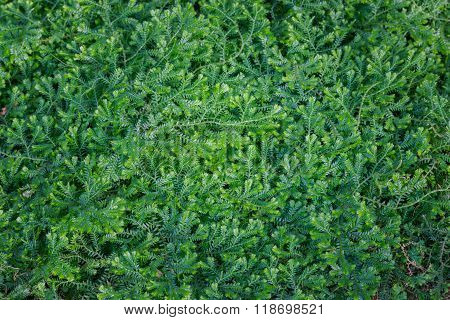 (dorothy Barton) Small Ferns.