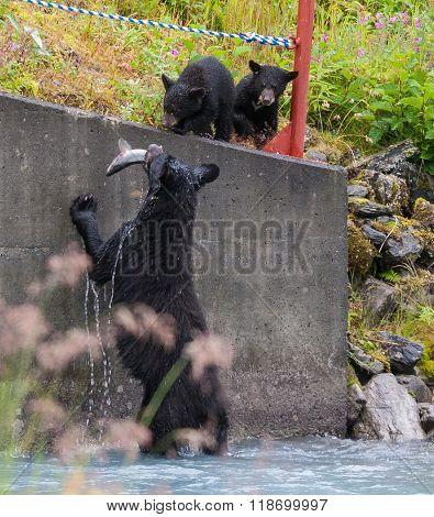 Black Bear Feeding Her Cubs