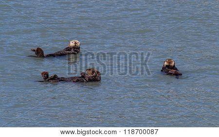 Three Sea Otters