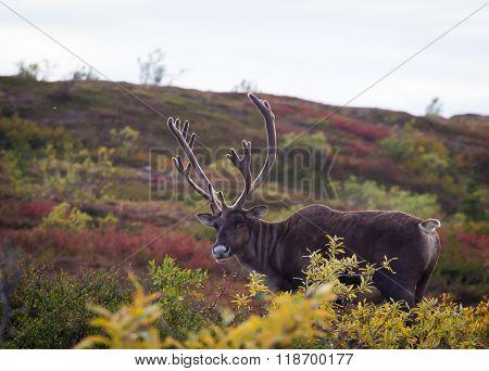 Mocking Bull Caribou