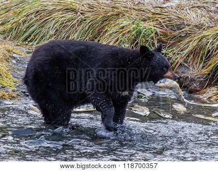 Black Bear With A Pink Salmon