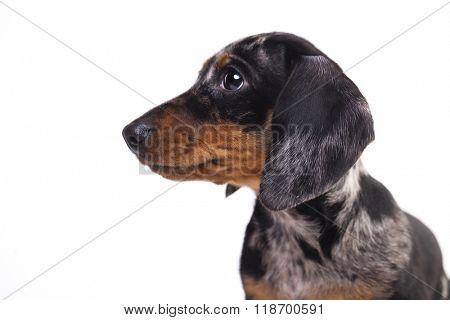 Portrait Dachshund puppy merle