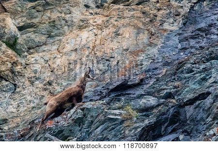 Chamois Running Up The Rocks