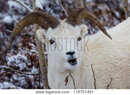 Dall Sheep In Denali National Park