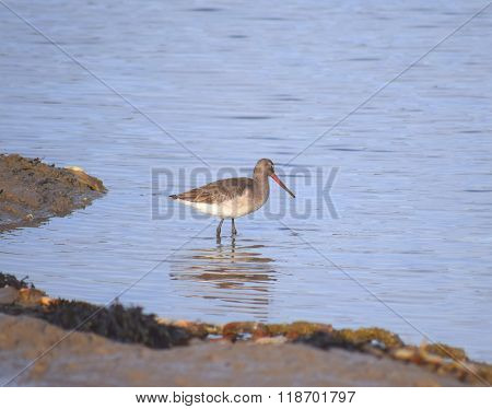 godwit bird in the water