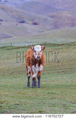 Cow Livestock In New Zealand Farm Field