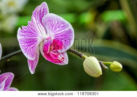 Blooming Orchid, close-up
