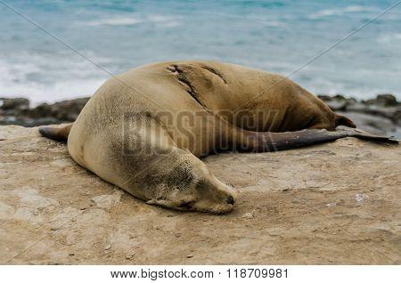 Single Sleeping Sea Lion On Rocks