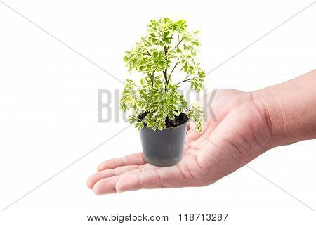 Man Hand Holding With Green Plants In The Small Pots Isolated On White Background
