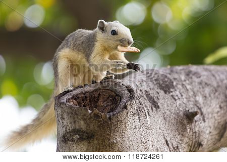 Variable squirrel (Callosciurus finlaysonii), eating on a cookie in a Bangkok's park, Thailand