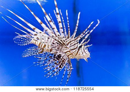Pterois Volitans In Blue Water