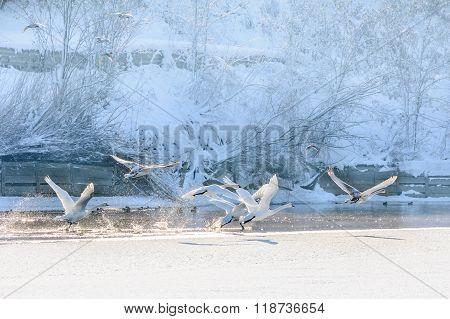 Swans In Flight Over Frozen Water. Winter Landscape With Swans Flying Over Cold Water And Snow Behin