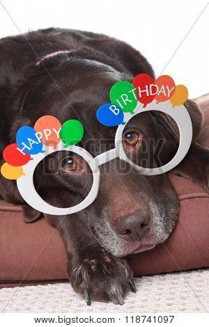 Old grey dog, a Labrador retriever, wearing Happy Birthday glasses.