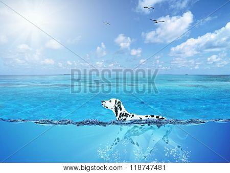 dalmatian breed dog swimming in open water