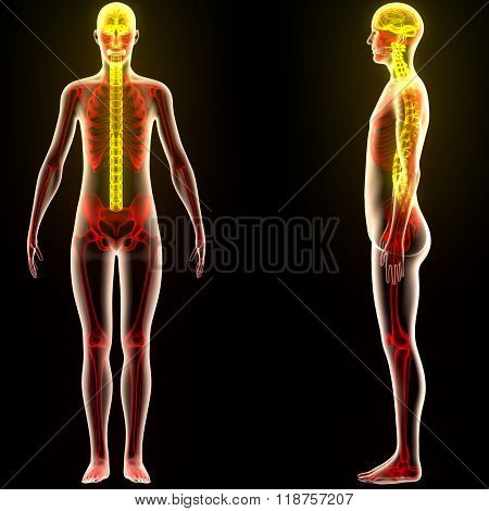Human Body Organs (Brain) with Spinal Cord