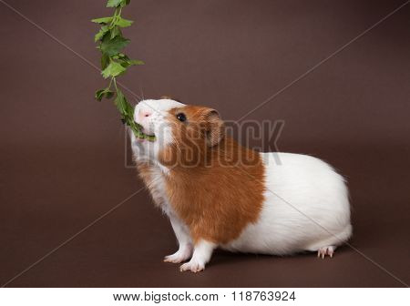 guinea-pig is eating verdure on the brown background