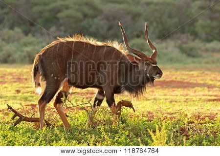 Male Nyala antelope (Tragelaphus angasii) in late afternoon light, South Africa