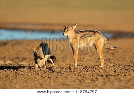 Black-backed jackals (Canis mesomelas) in aggressive interaction, Kalahari desert, South Africa