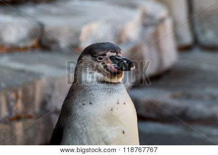 Close up of an humbold penguin animal with rocks in the background