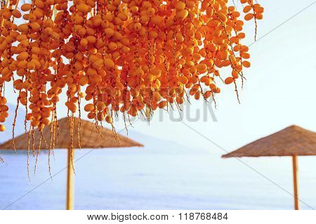 Fruits Of Date Palm Tree Against A Beach Landscape