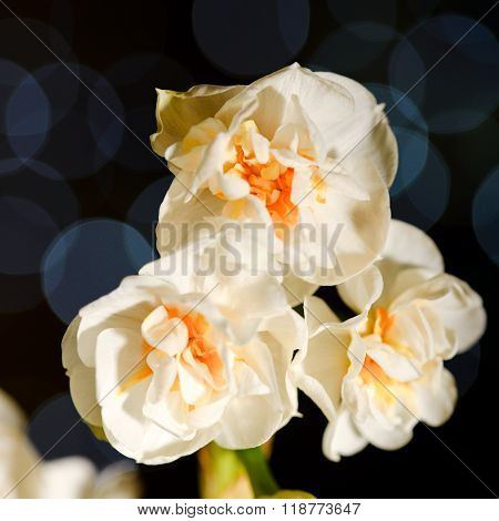 Three Daffodil Blooms With Blue Reflections In Background