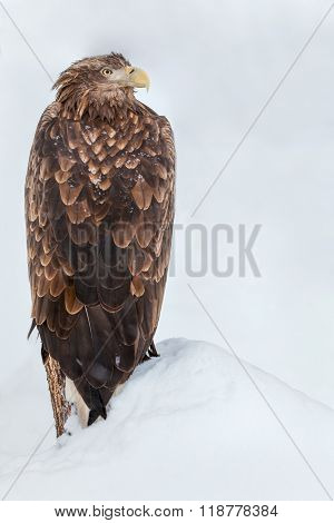 eagle on the snowdrift