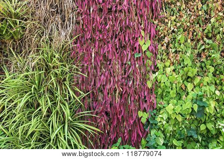 Green And Red Climber Foliage