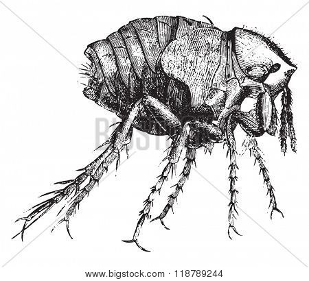 Chiggers female, magnified 50 times, vintage engraved illustration. Magasin Pittoresque 1873.