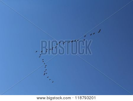 Wedge Of Birds Flying Against A Blue Sky. Animals