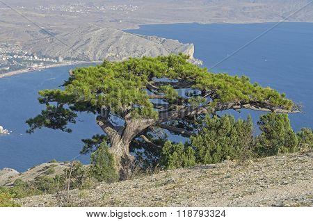 Relic Pine High On A Mountain. Crimea.