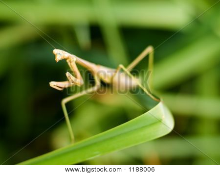 Praying Mantis auf Pflanze