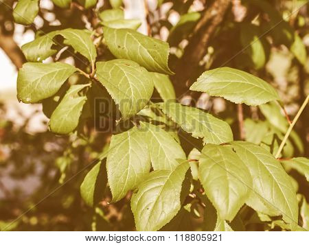 Retro Looking Prune Tree Leaf