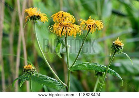 Telekia speciosa at Woodwalton Fen, in flower