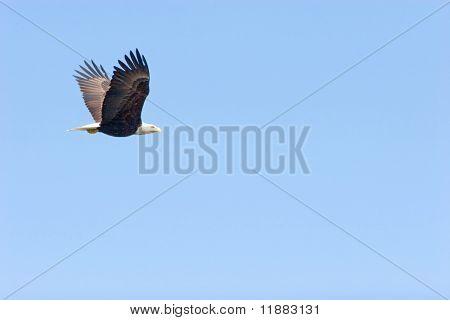 Bald eagle flying on blue sky wings open