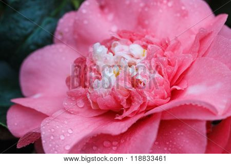 Macro of a rose camellia japonica - Rose of Winter