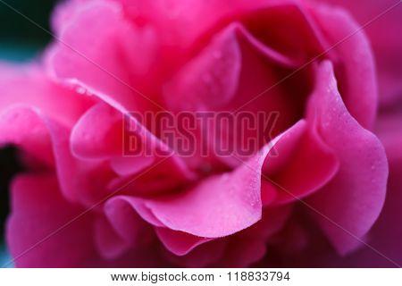 Macro of a rose camellia japonica - cultivar Debbie