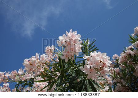 Flowering Oleander Bush Against The Blue Sky In The Sun