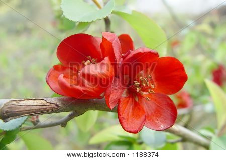 Double Red Flowers