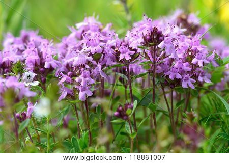 Wild thyme (Thymus serpyllum)