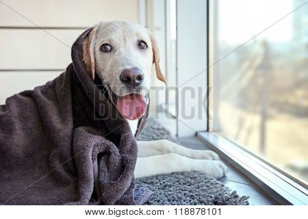Wet Labrador dog in towel looking out window, closeup