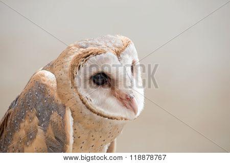 Common Barn Owl ( Tyto Albahead ) Close Up
