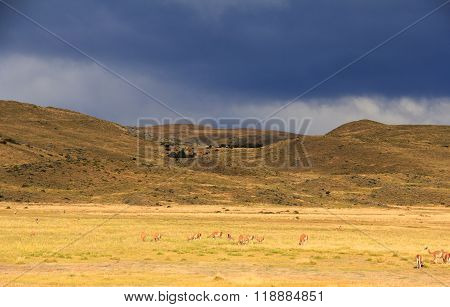Storm clouds, yellow field and many llamas