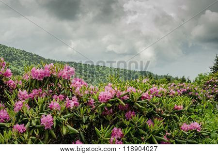 Rhododendron In Front Of Blue Ridge