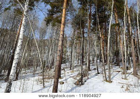 Altay Forest