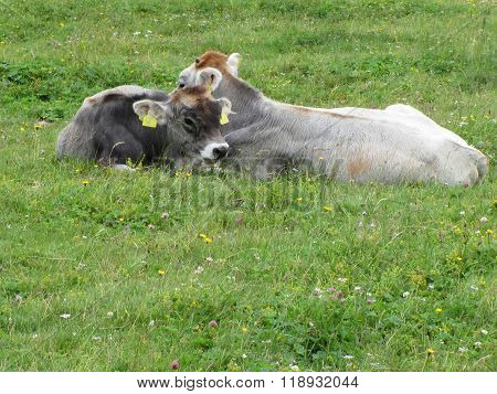 Cow And Calf On A Summer Meadow