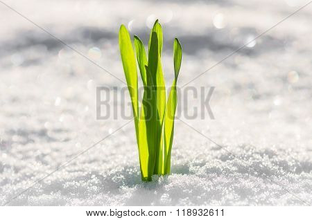Sprout Of Green Grass