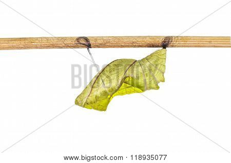 Isolated Cocoon Of Common Birdwing Butterfly On White