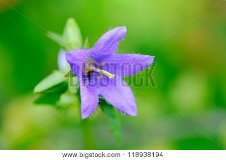 Campanula In Wildlife. Bellflower