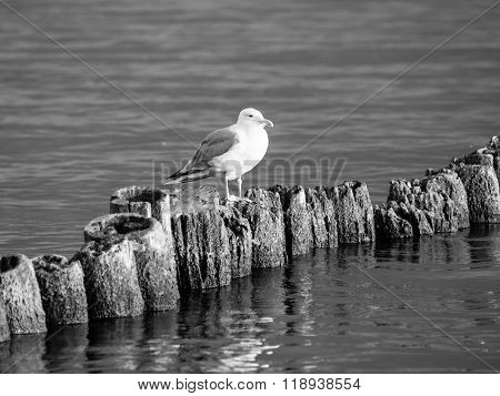 Seagull sitting on a pillar