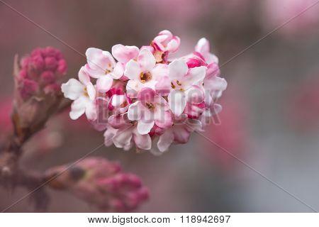 Viburnum Farreri, Winter Snowball Blossom
